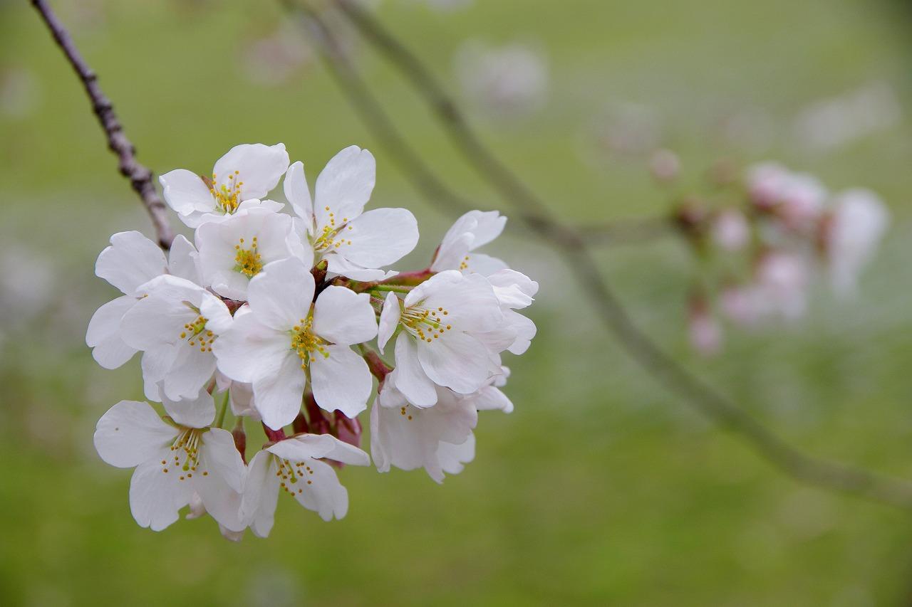 難波宮(なにわのみや)の『桜』
